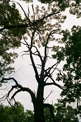 Life and death (pabs35) Tags: film believeinfilm 35mm fuji fujifilm superia superia200 canon canonet ql17 canonetql17 deadtree trees sky nature lakecountyforestpreserve lcfpd oldschool oldschoolforestpreserve rangefinder