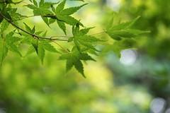 Green maple leaves (JPShen) Tags: leaf maple green bokeh windy light swing leaves