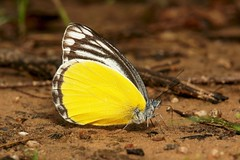 Yellow Jezebel (Delias agostina, Pieridae) (John Horstman (itchydogimages, SINOBUG)) Tags: insect macro china yunnan itchydogimages sinobug butterfly lepidoptera pieridae jezebel yellow topf25 topf50