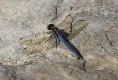Libllula ( alfanhu) Tags: liblula libllula dragonfly insecte insecto insect macro closeup nature river sella marinabaixa