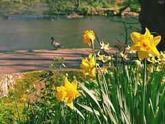 (akaibuutsu) Tags: flower flores yellow amarilla daffodil narciso pato duck bokeh