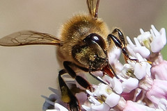 European Honeybee On Milkweed 2 (Brown Acres Mark) Tags: european honeybee milkweed jackson county oregon macro insect