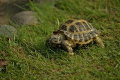 Visitor :-) Turtle or maybe Pokemon? (L.Lahtinen) Tags: turtle animal kilpikonna finland nikond3200 55300mm larissadatsha elin kotielinpiha garden
