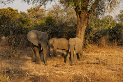 Zambia_LionCamp_229_elephant (atkiteach) Tags: zambia southluangwanationalpark southluangwa safari safaricamp camp nature naturereserve holiday rural africa lioncamp elephants elephant elephantcalf elephantcalves calf calves