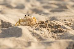 pulizie di casa (dottor100) Tags: crab animal animals nature wild wildlife cuba trinidad travel beach sand nikon nikond610 tamron