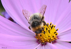 Happy Bee (Eleanor (No multiple invites please)) Tags: cosmos busheyrosegarden bushey uk nikond7200 105mmmacrolens august2016 ches