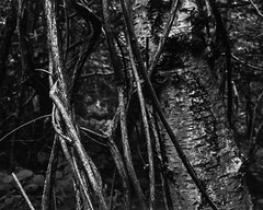 Ivy Vines and Tree Trunk (Hyons Wood) (Jonathan Carr) Tags: tree ivy vines abstract abstraction landscape rural northeast ancient woodland hyonswood black white fomapan bw largeformat 4x5 5x4 toyo45a