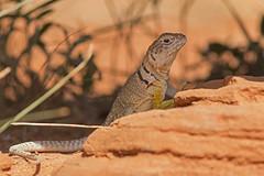Eastern Collared Lizard (Stephen J Pollard (Loud Music Lover of Nature)) Tags: lagartijadecollardelaltiplano easterncollaredlizard reptile rptil herp lizard lagarto crotaphytuscollaris