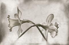 monochrome 0.2 (bresciano.carla) Tags: monochrome flowers pentax nature art flickr