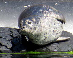 Seal of approval? (diffuse) Tags: 16aug15 mammal seal wild fannybay tires basking sunning harbourseal whiskers