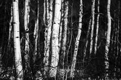 Trees of Beaver Creek (Mabry Campbell) Tags: 2014 beavercreek co colorado houstonphotographer january mabrycampbell us usa unitedstates unitedstatesofamerica blackandwhite commercialphotography fineartphotographer fineartphotography image intimatelandscape landscape monochrome nature photo photograph photographer photography trees winter f28 january282014 20140128h6a9214 200mm sec 100 ef200mmf28liiusm