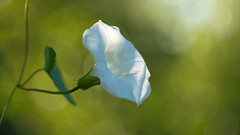 Looking for Light (Stefan Zwi.) Tags: macro flower winde zaunwinde ackerwinde sony a7 sigma 105mm makro hedge bindweed morning glory calystegiasepium ngc npc