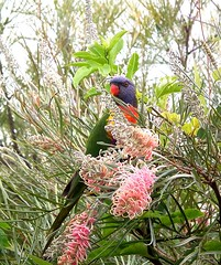 A Rainbow Lorikeet eyes me off before deciding to rifle the grevillea for nectar.. (Anni - with camera) Tags: trichoglossushaematodus rainbowlorikeet nectar grevillea flowers pollen noisy flocks inmygarden