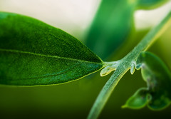 Close olive (janlof671) Tags: olive leaf nature closeup