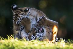 Milla and Bagai's Cubs 191 (JasonBrownPhotography) Tags: marwell marwellwildlife marwellzoo zoo amurtiger tiger siberiantiger siberian amur cub cubs animals wildlife bigcat flickrbigcats milla bagaiandmilla canon canon1dx