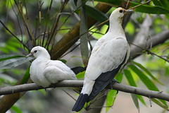 Pied Imperial pigeon 黑袖鴿 (Lim SK) Tags: pied imperial pigeon 黑袖鴿