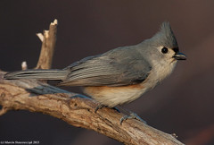 With an open bill (v4vodka) Tags: bird birding birdwatching animal nature wildlife longisland newyork titmouse tuftedtitmouse baeolophusbicolor songbird sikoradwubarwna elizabethmortonwidliferefugemortonsanctuary
