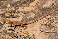 Central military dragon (Ctenophorus isolepis) (runwildtv) Tags: central australia basking ctenophorus dragon isolepis military red western