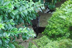 Today's Cat@2016-09-05 (masatsu) Tags: cat thebiggestgroupwithonlycats catspotting pentax mx1