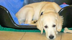 Charlie 15 weeks (Mark Rainbird) Tags: canon charlie dog powershots100 puppy retriever uk burghfieldcommon england unitedkingdom