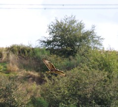 shirebrook valley buzzard (2) (Simon Dell Photography) Tags: sheffield city uk shirebrook valley nature reserve hackenthorpe old new pictures wildlife simon dell photography bif bop bids sticks