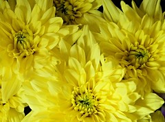 Four flowers (Rob Hall -) Tags: flower yellowflower flora flowers yellow bunch group bouquet arrangement display nature natural bright vivid colors color colorful cheerful colours colour colourful beauty beautiful
