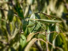 Praying Mantis (Doug NC (away)) Tags: tenoderasinensis mantis mantid camouflage biggreeneatingmachine