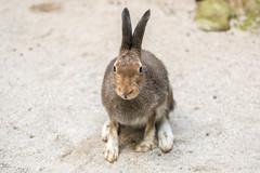 Alpine Hare in summer coat (Linda Martin Photography) Tags: birds alpinehare wildlife mammal bavaria bavariananimalforestpark animals europe bavarianforest animal depth field coth coth5 ngc npc