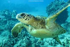 IMG_0089 copy (Aaron Lynton) Tags: lyntonproductions scuba diving snorkel underwater maui hawaii onebreath turtle honu hawaiiangreenseaturtle hawaiian greenseaturtle seaturtle canon g1x