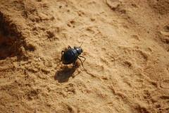 Egyptian Scarab Beetle (gilmorem76) Tags: egypt sahara scarab beetle nature insect wildlife travel tourism desert middle east