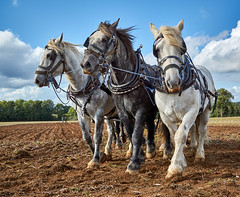 DSC05716 (Andy Oldster) Tags: eashing godalming farm plough ploughing heavyhorses shire sony alpha a65 slt
