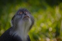 Meerkatze (sergei.ribant) Tags: africa afrika animal affe monkey meerkatze tsavo nikon wildlife wild bokeh kenia kenya d7100 safari nature
