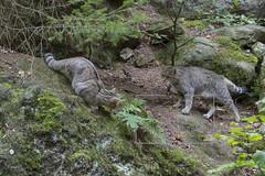 HJ__HJ00211_12 september 2016 (hughjansman) Tags: bwaldtiergehege wildekat