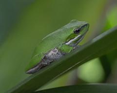 Frog Macro 6 (archie0) Tags: green frog macro