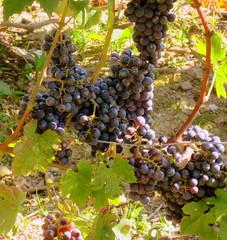 Ready for picking (oobwoodman) Tags: switzerland suisse schweiz genfersee grandvaux lakegeneva lman lake lac lausanne lavaux grapes trauben raisins vendange harvest ernte