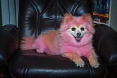 flashy fannie (268/366) (severalsnakes) Tags: ks2 pentax vivitardf383 chair dyed flashbender pet portrait da5018 pomeranian animal dog flash modifier pink rogue