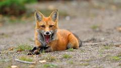 Just a little yawn (Hanzy2012) Tags: nikon algonquinpark vulpesvulpes fox redfox ontario wildlife afsnikkor500mmf4difedii d750