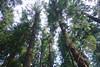 DSC02656 (Nai.) Tags: sonyrx100 taiwan taichung asia nature plants trees treeporn green greenness pine pinewoods
