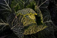 I primi freddi (frederik89) Tags: freddo autunno autumn cavolo orto km0 vegetable verdure veg