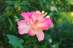 Beauty (Paige_Terhune) Tags: first follow comment like nature plant landscape flowers pink flower