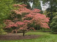 Autumn Colours (Nigel Musgrove-1.5 million views-thank you!) Tags: arboretum autumn westonbirt tree trees bush bushed shrub shrubs orange yellow