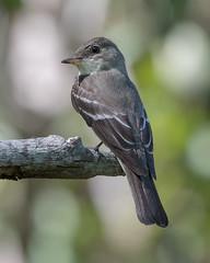 Eastern Wood Pewee (PeterBrannon) Tags: bird contopusvirens easternwoodpewee florida nature pinellascounty portait tampa wildlife