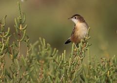 Cisticole des joncs (m-idre31 - 5 millions de vues merci) Tags: bird gruissan aude cisticoledesjoncs