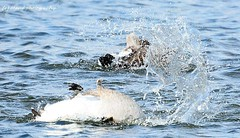 Backstroke bird. ((c) MAMF photography..) Tags: britain beauty autumn england eastyorkshire flickrcom flickr google googleimages gb greatbritain greatphotographers greatphoto bird birds hornsea hornseamere image mamfphotography mamf mere nikon north nikond7100 northernengland october photography photo uk unitedkingdom upnorth wildlife water wet nature naturereserve yorkshire swan