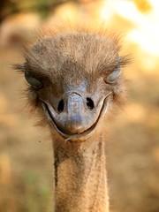 stupid grin (peet-astn) Tags: lionandsafaripark broederstroom eyes face bird johannesburg southafrica ostrich stupid grin stupidgrin