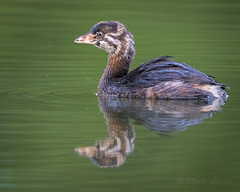 Young Pied-Billed Grebe (mLichy911) Tags: green young piedbilled grebe waterfowl bird pnw reflection wildlife wild handheld portrait 7dmarkii canon 500f4 nature fall lowangle wa seattle