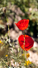 [ #286 :: 2016 ] (Salva Mira) Tags: roselles amapolas poppies flors flores barrancdelencantada pasvalenci salvamira salva salvadormira