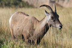 What are ewe looking at? (right2roam) Tags: bighornsheep oviscanadensis badlands nationalpark prairie plains southdakota wildlife wild right2roam grazing ewe grassland