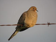 Gold digger (Laura Rowan) Tags: bird mourningdove goldenhour wire fermi fermilab birding autumn