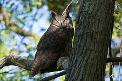 """""""Afternoon Nap"""" (Great Horned Owl) (Jesse_in_CT) Tags: greathornedowl nikon200500mm"""